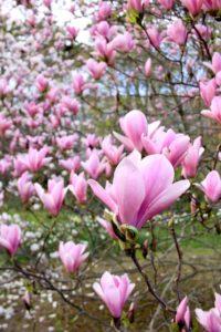 Magnolias au parc de la tête d'or - Lyon-visite.info