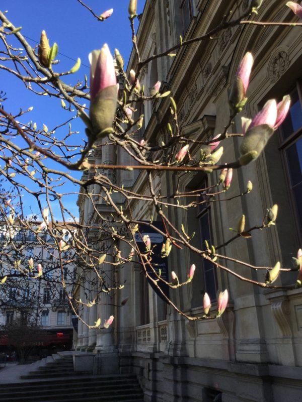 Magnolias en bourgeons devant l'hôtel de la Chambre de Commerce, le 11 mars 2018