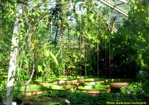 Nénuphars géants dans les serres