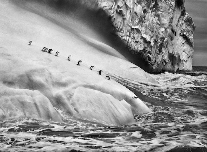 Photo Sebastião Salgado — Manchots à jugulaire sur un iceberg. Îles Sandwich du Sud. 2009.